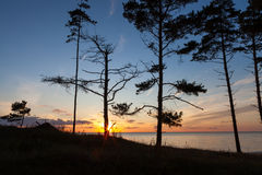 Baltic pine trees Stock Photos