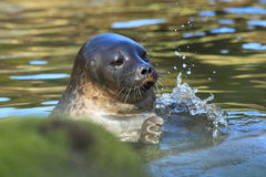 Baltic ringed seal Stock Photos