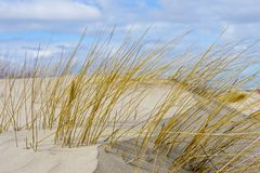 Baltic sea beach with yellow grass in winter, wind formed relief. Blue sky with white clouds royalty free stock image