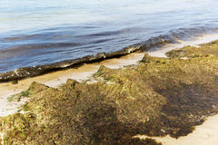Baltic Sea coast is covered with rotting seaweeds Stock Photos