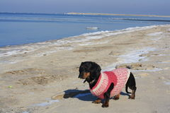 On the Baltic Sea with a dachshund Stock Photography
