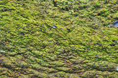 Baltic Sea Green algae Stock Image