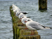 Baltic Sea - line of seagulls on wooden pillars in the water Stock Image