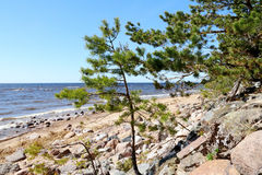Baltic sea shore, deserted beach: waves, blue sky, mossy stones, pine trees, wind Royalty Free Stock Images