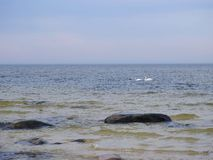 Baltic sea , swans and beautiful big stones , Lithuania. Beautiful big stones and swans and Baltic sea coast Royalty Free Stock Images