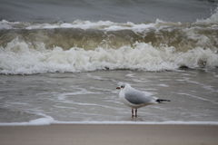 Baltic sea in the winter - seagulls flying around Royalty Free Stock Photo