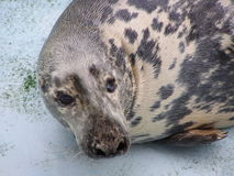 Baltic seal Royalty Free Stock Photography