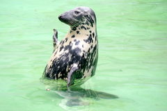 Baltic seal. Zoo Kaliningrad. Royalty Free Stock Images