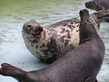 Baltic seals Stock Photo
