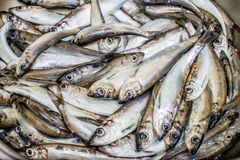 Baltic sprats. Prepear baltic sprats in tehe kitchen Stock Images