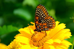 Baltimore Checkerspot butterfly Royalty Free Stock Photography