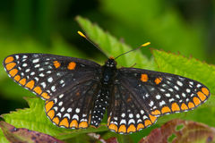 Baltimore Checkerspot. Butterfly resting on a leaf stock image