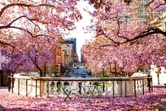 Baltimore city with flowering magnolia in spring. Beautiful view of Baltimore city with flowering magnolia trees in spring, Maryland stock images