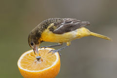 Baltimore femelle Oriole Feeding sur une orange Photo libre de droits