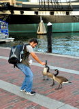 Baltimore, MD: Man Feeding Canada Geese Royalty Free Stock Photography