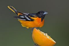 Baltimore Northern Oriole (Icterus galbula) Stock Images
