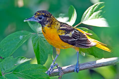 Baltimore Orile. A male Baltimore Oriole with bug in his mouth royalty free stock photo