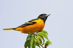Baltimore Oriole Stock Images