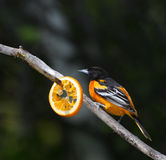 Baltimore oriole. Perched in a tree with orange slice Stock Images