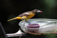 Baltimore Oriole Stock Photography