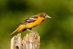 Baltimore Oriole Photos stock