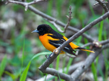Baltimore Oriole. Photograph of a beautiful male Baltimore oriole perched in a branch in a midwestern woodland setting Stock Photo
