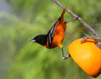 Baltimore Oriole. On an orange feeding perch Royalty Free Stock Photography