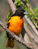 Baltimore Oriole. Full frontal view Stock Photos