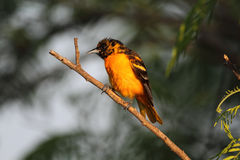 Baltimore Oriole Images libres de droits