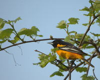 Baltimore Oriole. Perched in a tree Royalty Free Stock Photo
