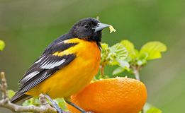 Baltimore Oriole Royaltyfria Bilder