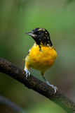 Baltimore Oriole Images stock