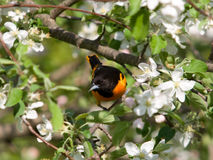 Baltimore Oriole. Photograph of a brilliantly plumaged male Baltimore Oriole perched in the midst of Apple Tree blossoms Stock Photos