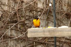 Baltimore Oriole ad un alimentatore del cortile immagine stock libera da diritti