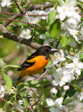 Baltimore Oriole and Apple Blossoms. Photograph of an adult Baltimore Oriole perched in the midst of beautiful apple blossoms Royalty Free Stock Photo