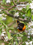Baltimore Oriole and Apple Blossoms. Photograph of an adult Baltimore Oriole perched in the midst of beautiful apple blossoms royalty free stock image