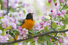 Baltimore Oriole in apple blossoms Royalty Free Stock Image