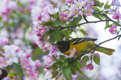 Baltimore Oriole in apple blossoms Stock Image
