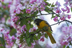 Baltimore Oriole in apple blossoms Royalty Free Stock Photography