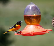 Baltimore Oriole on backyard feeder Royalty Free Stock Photography