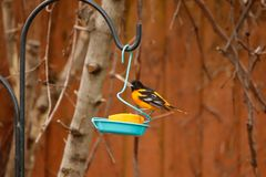 Baltimore Oriole at a backyard feeder. A Baltimore Oriole perched on a backyard feeder, eating an orange stock images