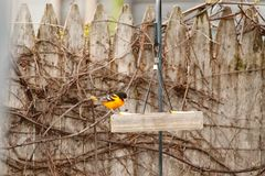 Baltimore Oriole at a backyard feeder. A Baltimore Oriole perched on a backyard feeder, eating an orange royalty free stock image