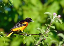 Baltimore Oriole bird  Royalty Free Stock Photo