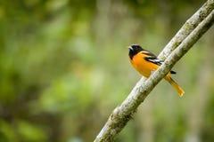 Baltimore Oriole bird. In Costa Rica Stock Photos
