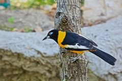 Baltimore Oriole bird Stock Photo