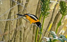 Baltimore Oriole bird Royalty Free Stock Photography