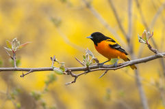 Baltimore Oriole. On branch stock images