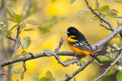 Baltimore Oriole. On branch Stock Photos