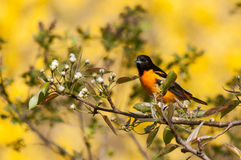 Baltimore Oriole. On a branch royalty free stock photos