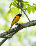 Baltimore Oriole on a branch. The Baltimore Oriole is a small migratory bird with beautiful orange and black coloring Stock Image